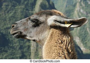 llamaperuvian, lama