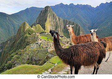Llamas at Machu Picchu, lost Inca city in the Andes, Peru -...
