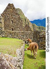 Llamas at Machu Picchu - Llamas walking among old ruins at...
