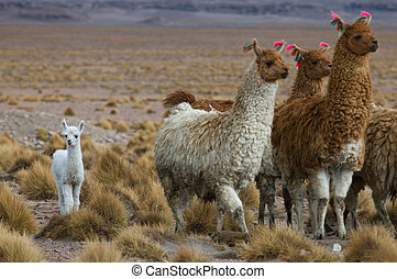 llamas, focus on the kid, very shallow DOF
