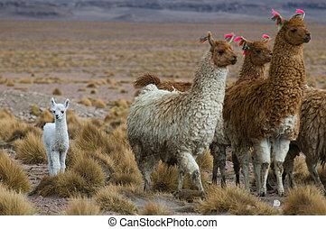 llamas, focus on the kid, very shallow DOF