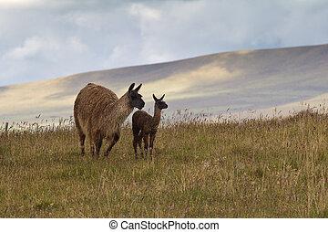 Llamas in Andean Highlands - Llama mother and cria (baby...