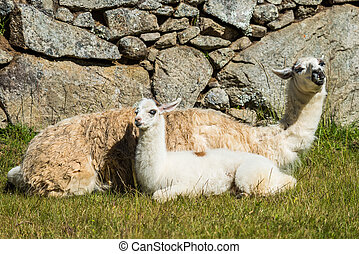Llamas Machu Picchu ruins peruvian Andes Cuzco Peru - Llamas...