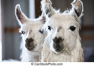 Llamas on a typlical farm - Llamas and farm animals on a...