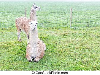 Llamas - Two llamas standing on a green land.