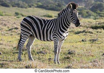 llanuras, burchell, zebra, o