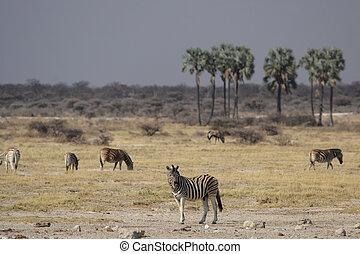 llanuras, cebras, en, el, etosha parque nacional, namibia