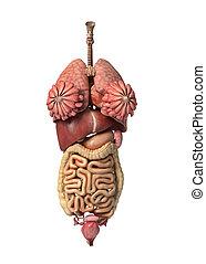 lleno, órganos, interno, hembra, frente, vista.