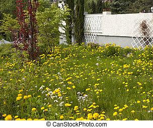 lleno, jardín, descuidado, dientes de león, malas hierbas,...