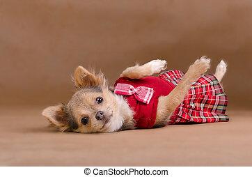 llevando, chihuahua, falda escocesa, rojo, perrito, acostado
