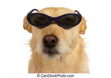 llevando, petimetre, gafas de sol, perro, fresco