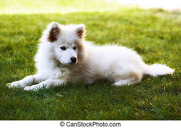Llittle Samoyed puppy portrait in the garden