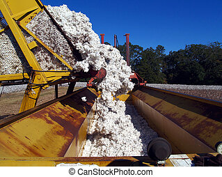 Load Being Dumped From a Boll Buggy - A load of cotton being...