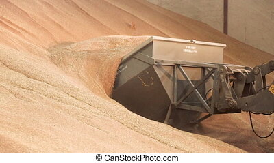 Loading grain into backhoe. Heap of yellow wheat crop, in...