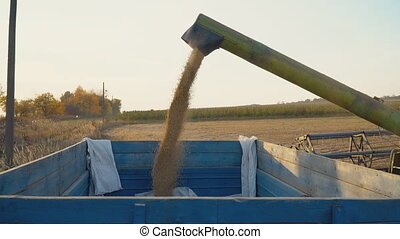 loading of collected soya into a trailer close-up