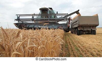 loading wheat grain