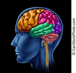lobe, cerveau, noir, sections