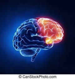 lobe, frontal, -, cerveau, humain, rayon x, vue