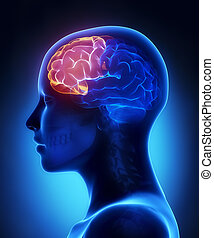 lobe, frontal, latéral, -, anatomie, cerveau, femme, vue