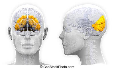 lobe, -, isolé, occipital, anatomie, cerveau, femme, blanc