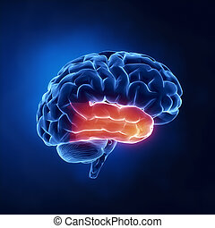 lobe, temporel, -, cerveau, humain, rayon x, vue