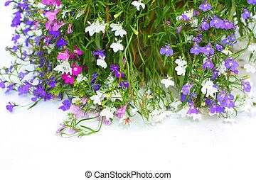 Lobelia flowers on white background