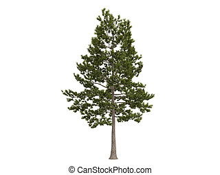 Loblolly pine or latin Pinus taeda isolated on white background