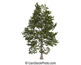 Loblolly pine or Pinus taeda - Loblolly pine or latin Pinus...