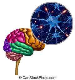 lobo, cervello, neurons, attivo