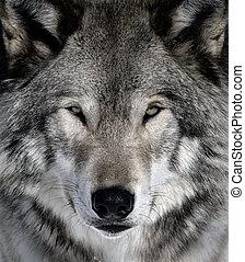 lobo cinzento