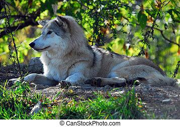 lobo gris, (canis, lupus)