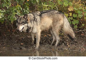 lobo gris, lupus de canis