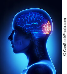 lobo, laterale, -, occipital, anatomia, cervello, femmina, ...