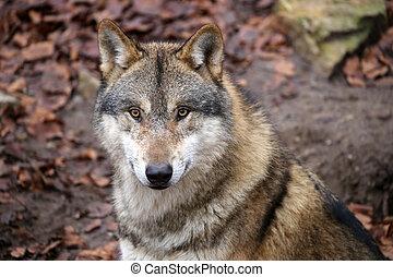 lobo, reservación, gris, fauna