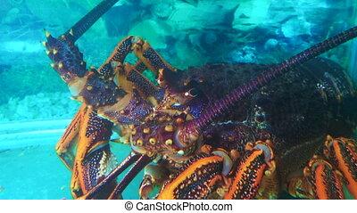 Lobster Crayfish underwater - Lobster Crayfish underwater in...