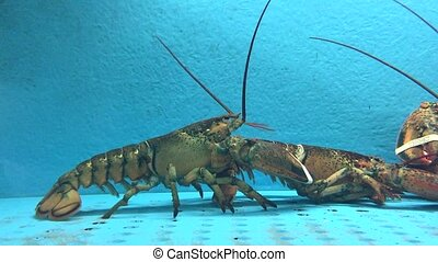 Lobster Fight - Lobsters Fighting in Water Tank at Fish Tank