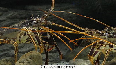 Lobster fight underwater - Two lobsters fighting in the...