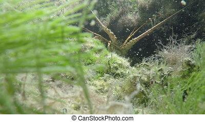 Lobster Florida Keys