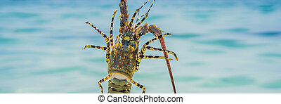 Lobster in the hands of a diver. Spiny lobster inhabits tropical and subtropical waters BANNER, LONG FORMAT