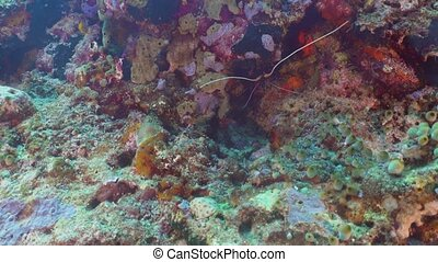 Lobster in the tropical sea. Bali,Indonesia. - Lobster, on a...