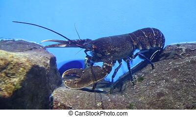 Lobster underwater - Spiny lobster underwater under a coral...