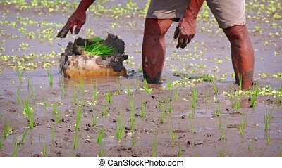 Local Laborer Planting Rice in Sticky Mud in Bali, Indonesia...