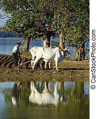 Local man working on a farm field near lake, Amarapura,...