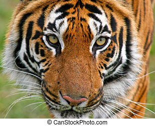 This focused Bengal Tiger was photographed at the Wildlife Heritage Foundation in the UK. The WHF is a conservation breeding programme for big cats.