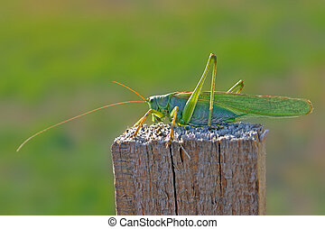 Locust - A common locust is standing on a wood pillar