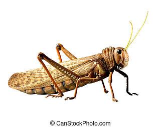 Big locust isolated on white background