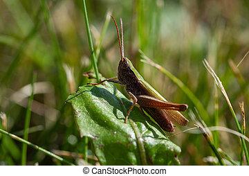 Locust Chorthippus dorsatus on the leaf in the meadow