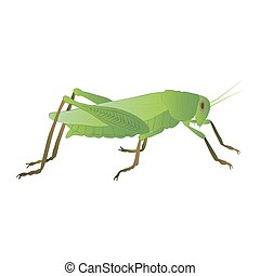 Locust color illustration isolated on white background. Vector.