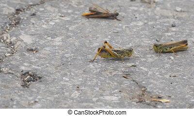 Locust crawling on an asphalt road. Locust invasion