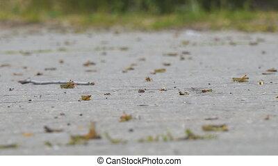 Locust crawling on an asphalt road. Locust invasion....
